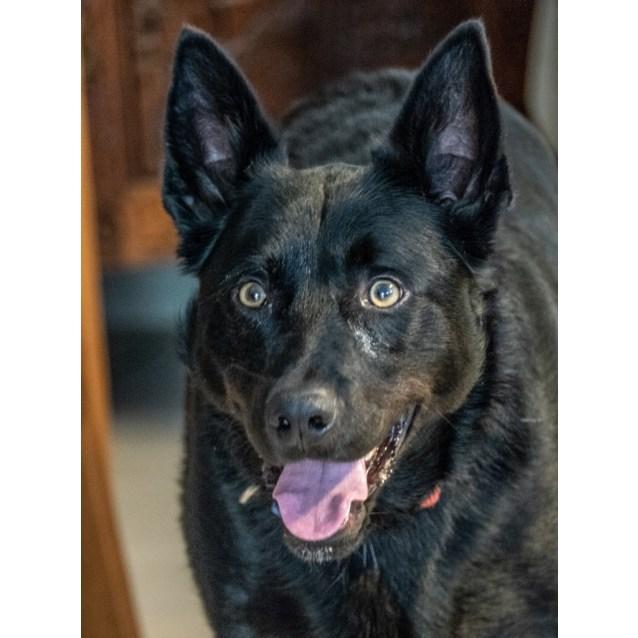 Photo of Max ~ Kelpie X (On Trial 10/10/18)