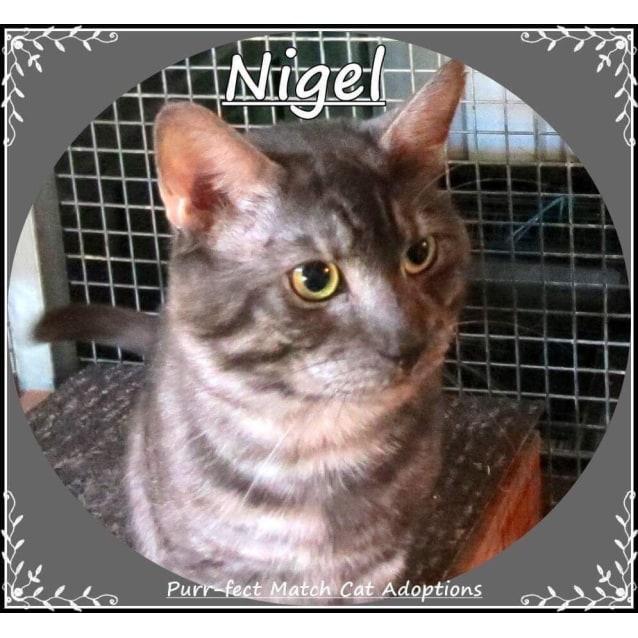 Photo of Nigel   Purrfect Match Cat Adoptions