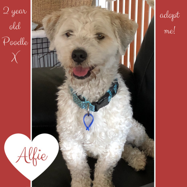 Alfie Poodle X On Trial 382018 Small Male Poodle Mix