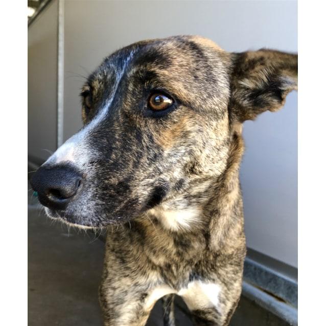 Sachi - Medium Female Kelpie Mix Dog in QLD - PetRescue