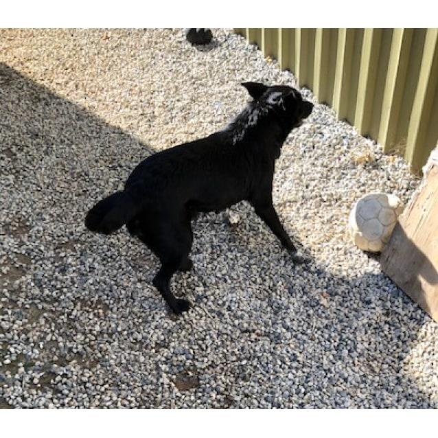Missy Lou - Medium Female Border Collie x Kelpie Dog in WA ...