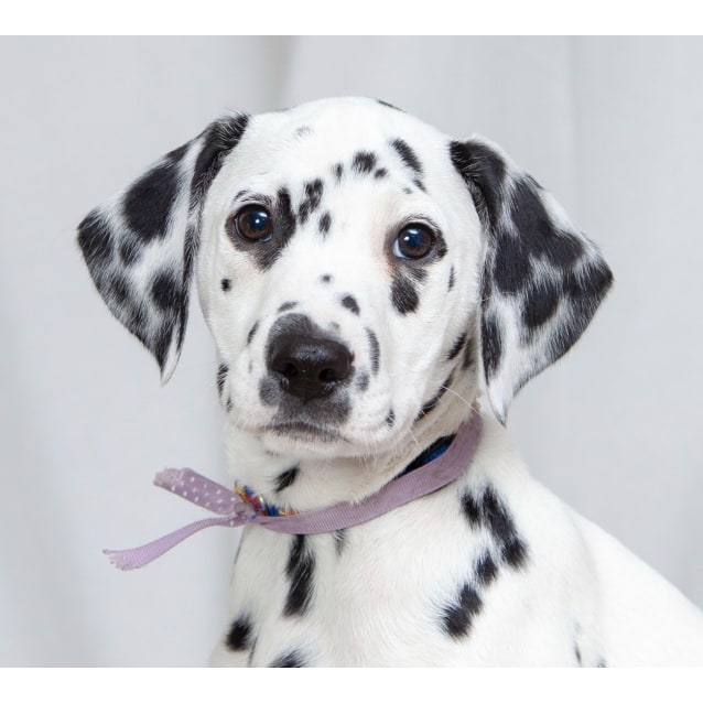 Photo of Devlyn ~ Dalmatian (On Trial 25/9/2018)