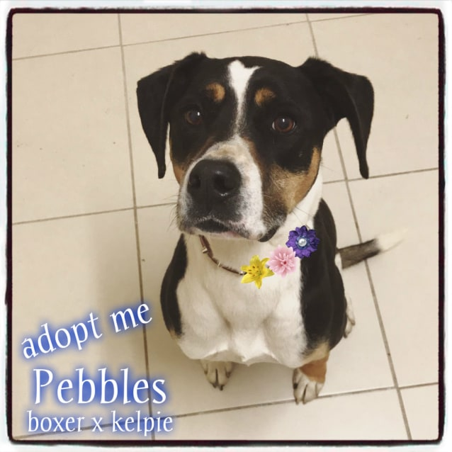 Photo of Pebbles ~ 9 Yr Old Boxer X Kelpie