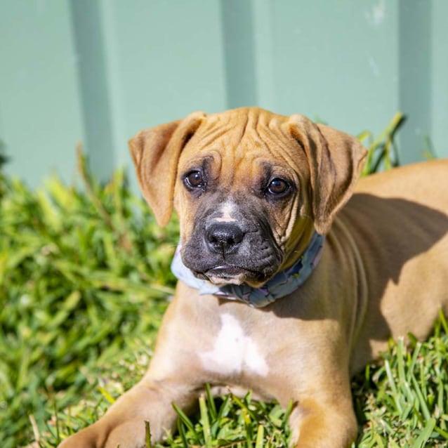 Photo of Penelope ~ Mastiff X Boxer Puppy (On Trial 15/9/18