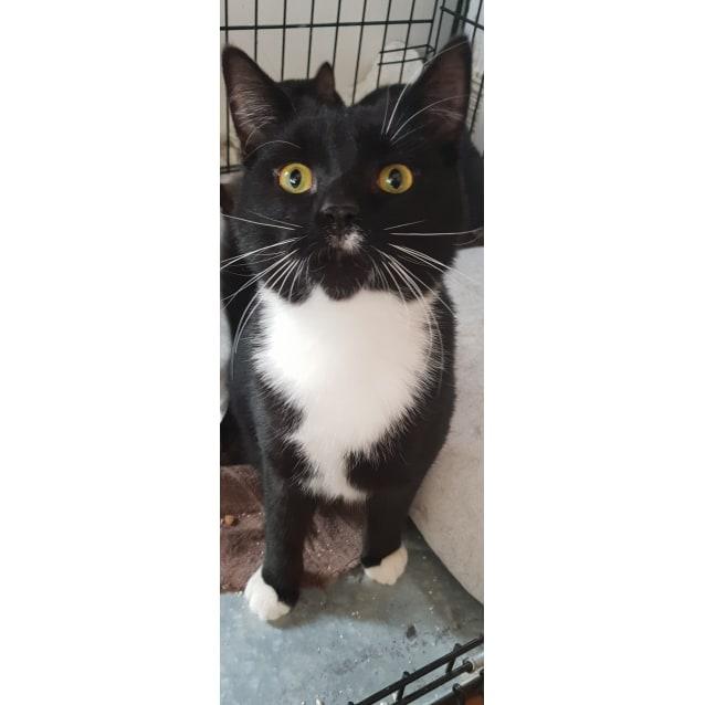 Photo of Luscian The Playful Tuxedo Boy Cat