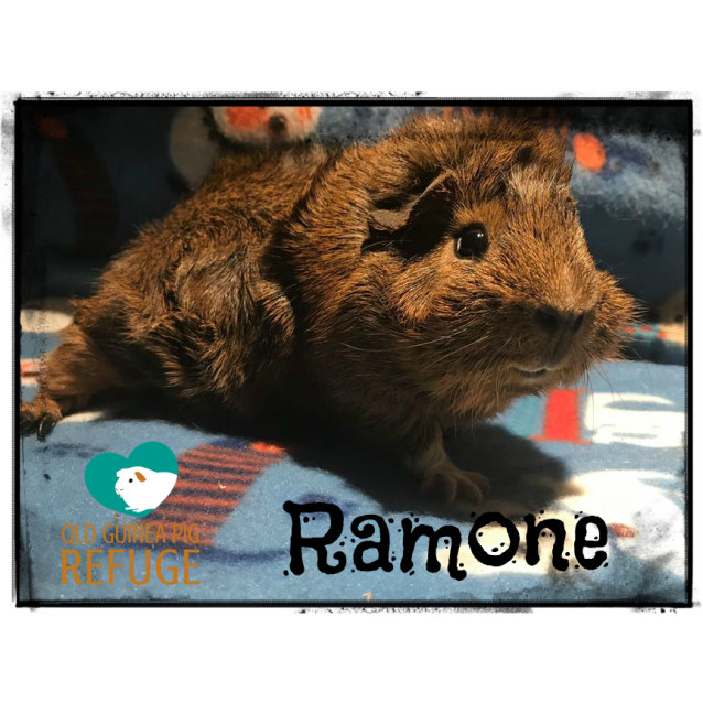 Photo of Ramone (Desexed Male)