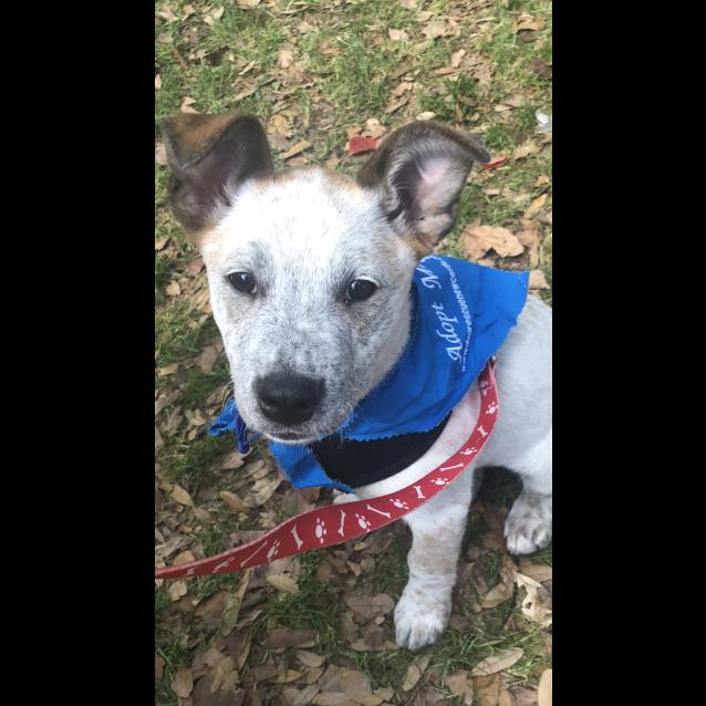 Photo of Lotus ~ Mastiff X Puppy (On Trial 11/11/18)1