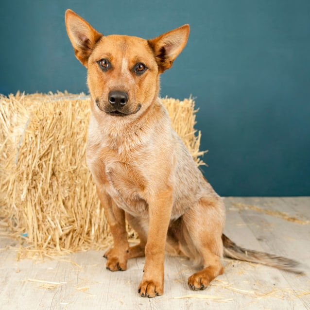 Photo of Rex ~ Red Cattle Dog (On Trial 11/11/2018)