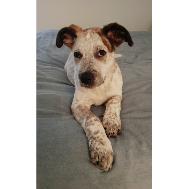 Photo of Matilda ~ Mastiff X Puppy (On Trial 26/10/18)