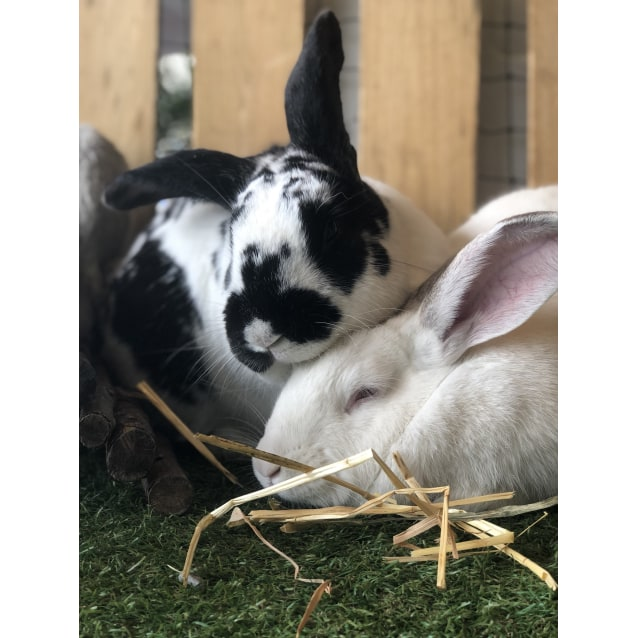 Photo of Bunnikins(Male Desexed) And Navah(White Female)
