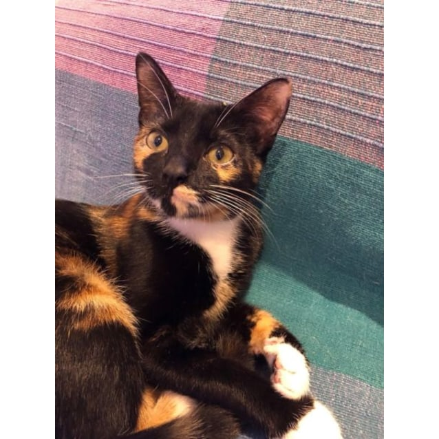 Kenya - Female Domestic Short Hair Cat in QLD - PetRescue