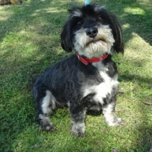Nitro 903994 - Small Male Maltese x Shih Tzu Dog in VIC