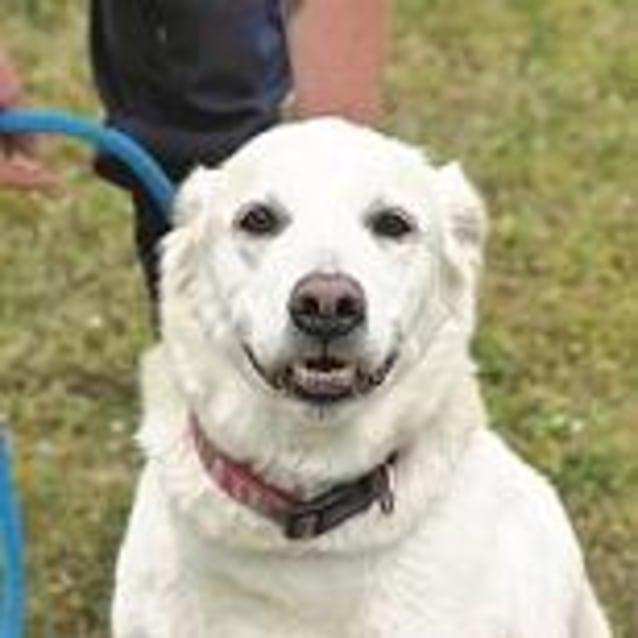 Betty 878098 - Medium Female Labrador Dog in VIC - PetRescue