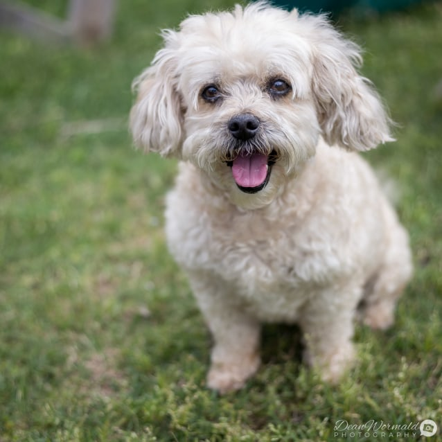 Fudge Maltese X Poodle On Trial 81118 Small Male