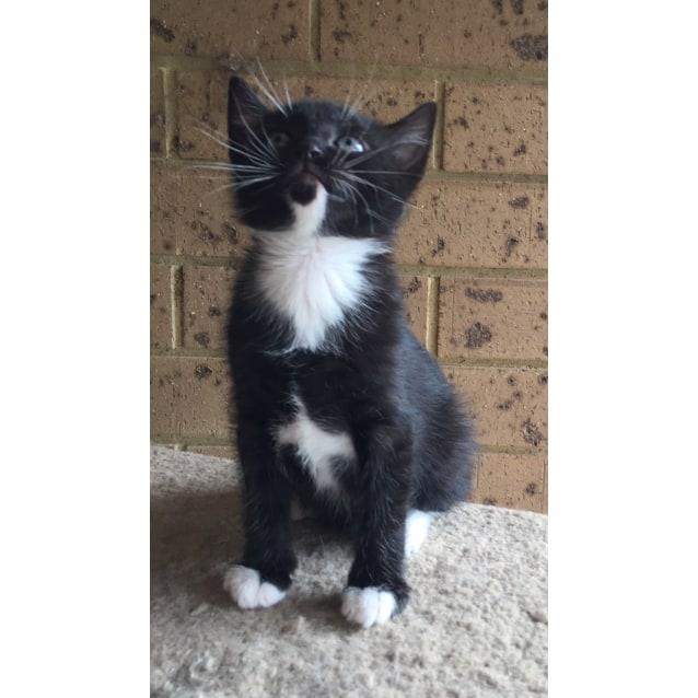 Photo of Magpie The Twinkling Tuxedo Kitten!