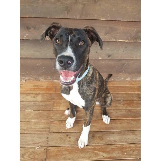 Photo of Annabella ~ Mastiff X (On Trial 24/11/18)