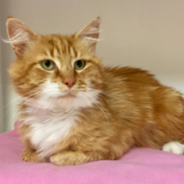 Ginger Male Domestic Medium Hair Cat In Vic Petrescue