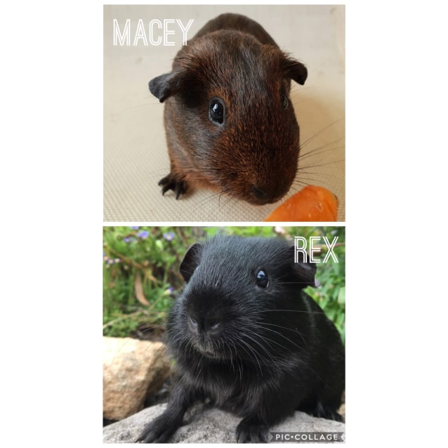 4519bcbe4a0a Macey   Rex - Male Short-hair Smooth Hair Guinea Pig in NSW - PetRescue
