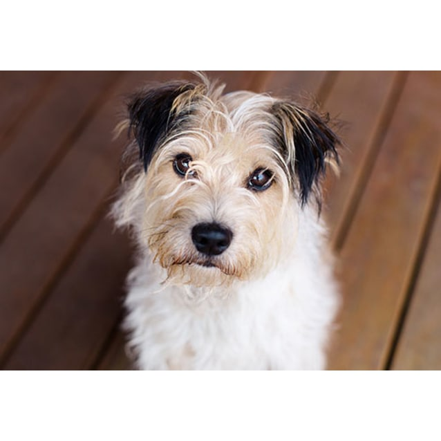 Tomkins - Small Male Terrier x Terrier Mix Dog in VIC - PetRescue