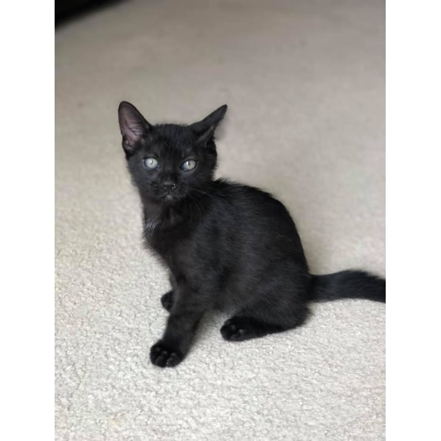 Toothless! - Male Domestic Short Hair Cat in NSW - PetRescue