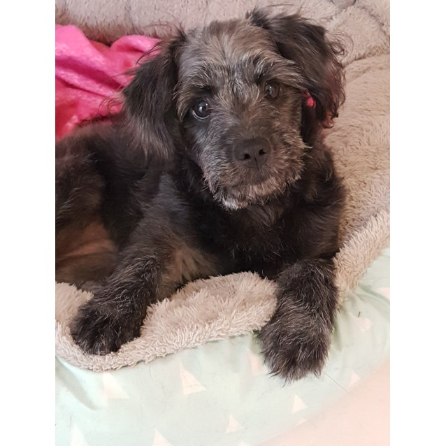 Tilly ~ Poodle x Spitz (on trial 8/12/18) - Small Female
