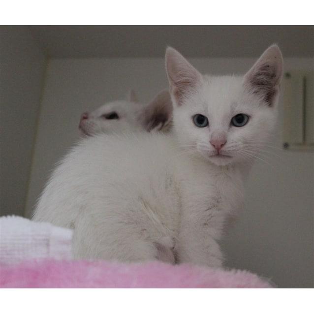Alpha - Female Dsh Mix Cat in WA - PetRescue