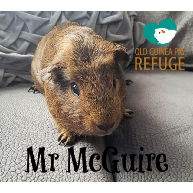 Photo of Mr Mc Guire (Desexed Male)