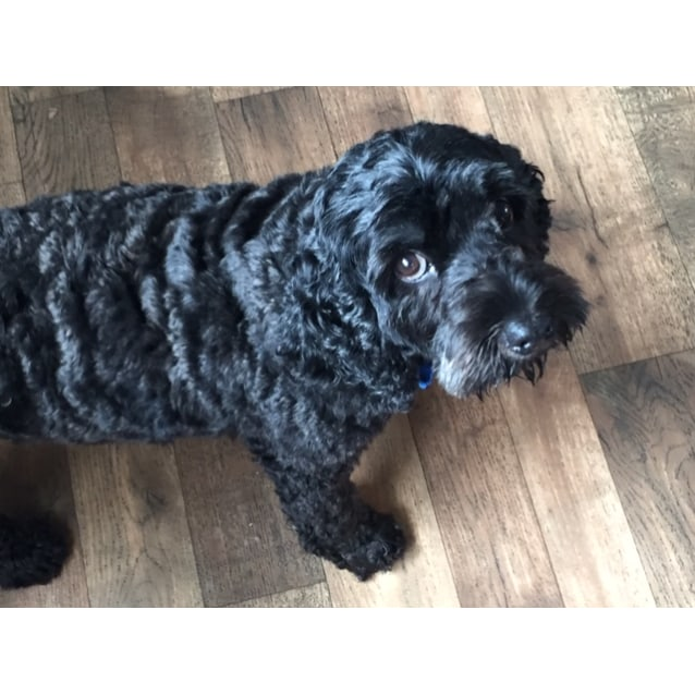 Monica Small Female Poodle Mix Dog In Nsw Petrescue