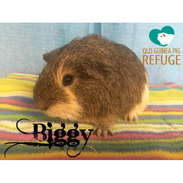 Photo of Biggy (Desexed Male)