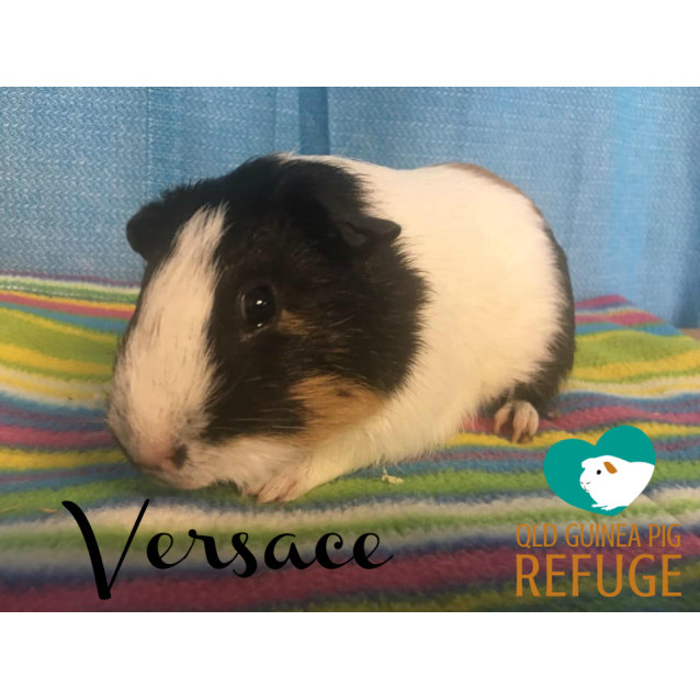 Photo of Versace (Desexed Male)