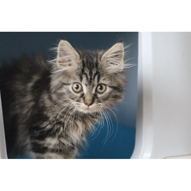 a1943037115 Mink - Male Domestic Long Hair Mix Cat in NSW - PetRescue