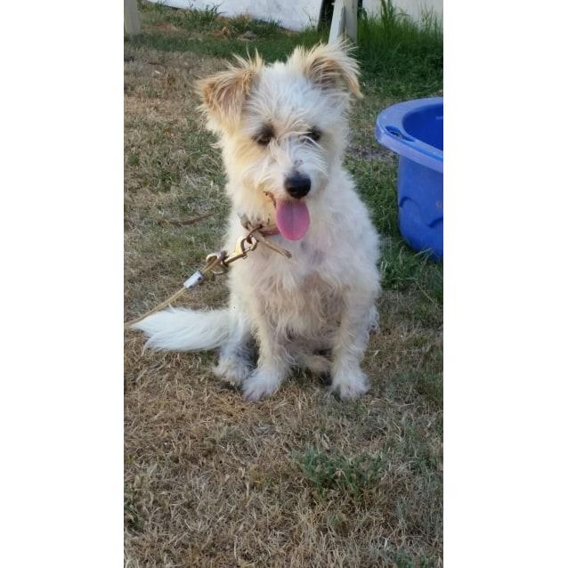 Molly Small Female Maltese X Miniature Fox Terrier X Shih Tzu Mix