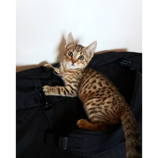 Lynx - Male Bengal Cat in VIC - PetRescue