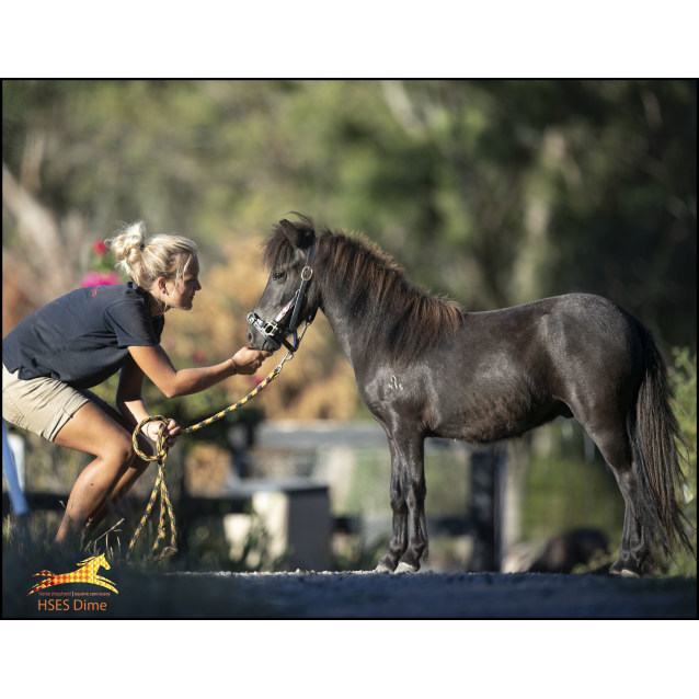 Photo of Horse Shepherd Dime