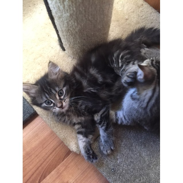 Photo of Rescue A Cat Inc Kittens