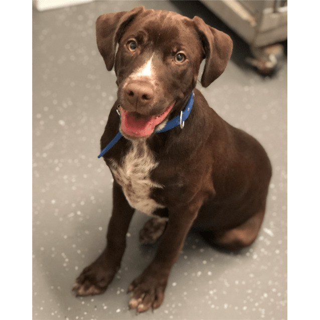 German Shorthaired Pointer Chocolate Lab Mix