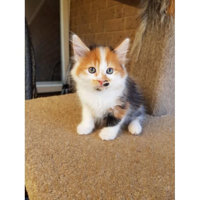 Penny Lane The Adorable Calico Beatles Kitten!