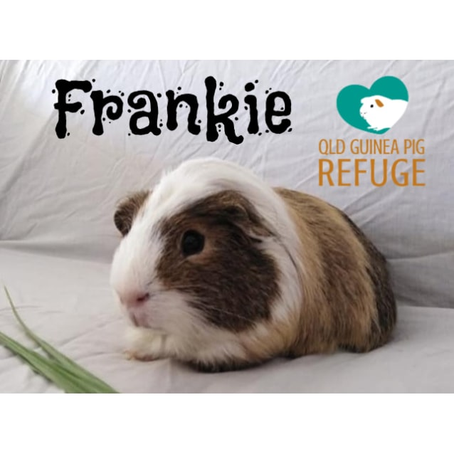 Photo of Frankie (Desexed Male)