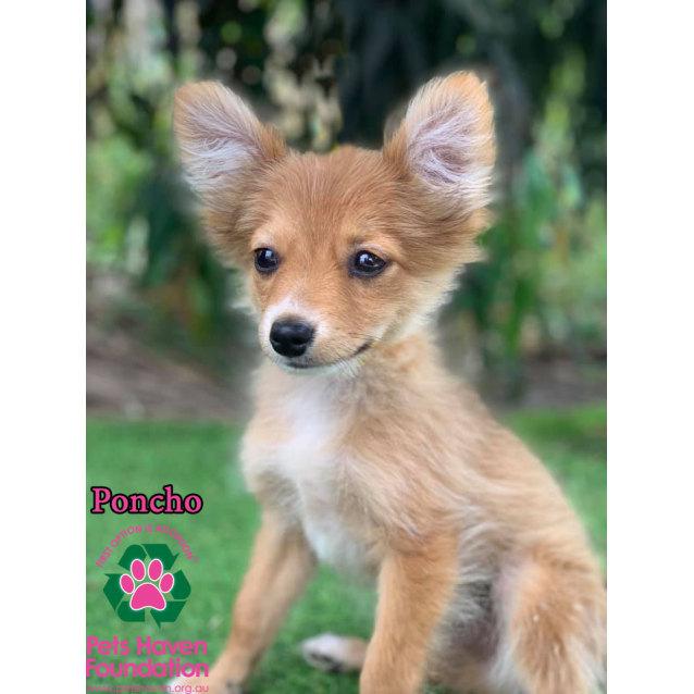 Poncho Small Male Chihuahua X Pomeranian Mix Dog In Vic Petrescue