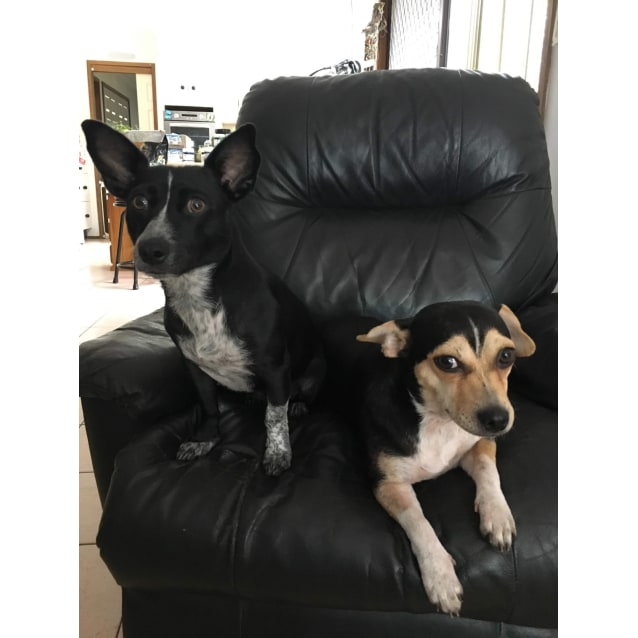 Photo of Pepper And Poppy ~ Terrier X (On Trial 20/5/19)