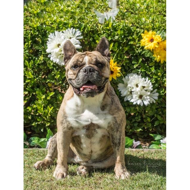 Meg Ryan - Medium Female British Bulldog x French Bulldog