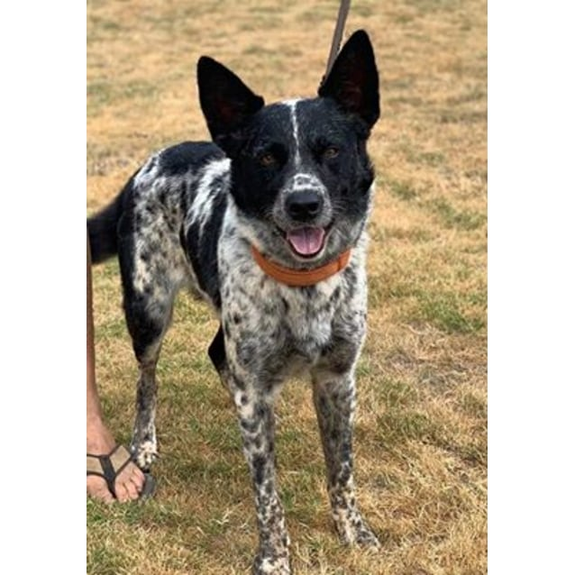 Medium Female Australian Cattle Dog X Koolie Mix