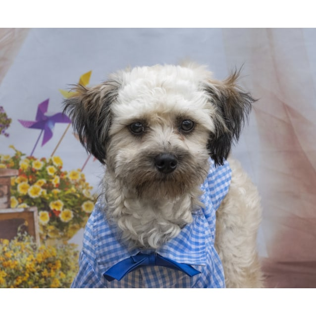 Zac Poodle X On Trial 2032019 Small Male Poodle Mix