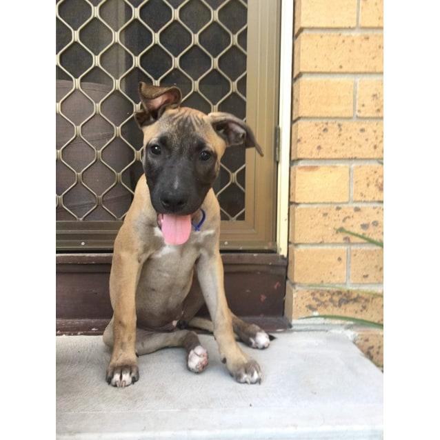 Photo of Libby ~ Cute Mastiff X Puppy (On Trial 26/4/2019)