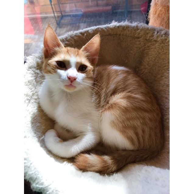 Photo of Tabitha Ginger And White  Cat