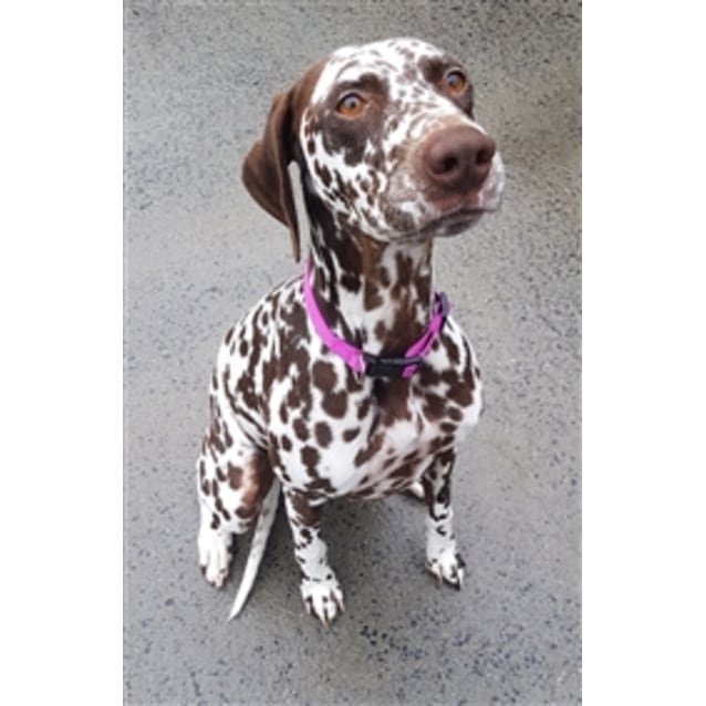Dotti - Large Female Dalmatian Dog in NSW - PetRescue