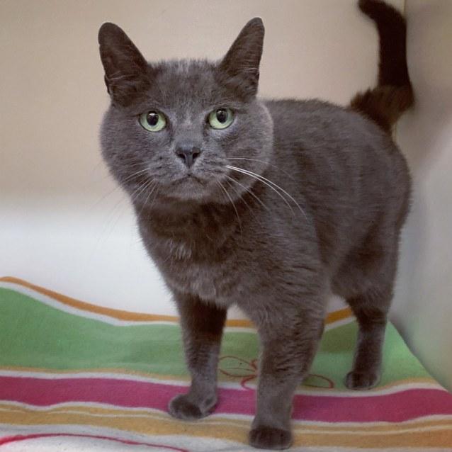 Muffy , Female Domestic Short Hair Cat in VIC , PetRescue