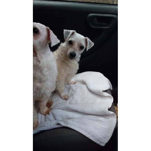 Ce Ce - Small Female Bichon Frise x Maltese Mix Dog in QLD