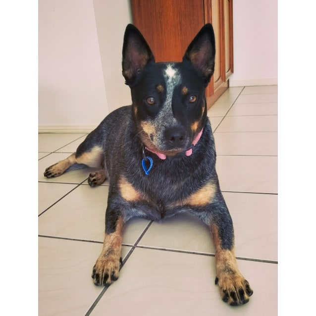 Photo of Stella ~ Cattle Dog (On Trial 10/4/19)