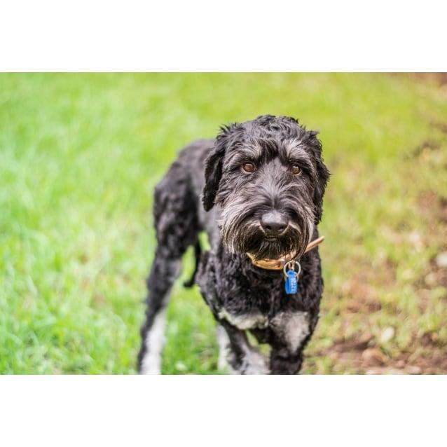 Sadie Medium Female Poodle X Schnauzer Standard Mix Dog